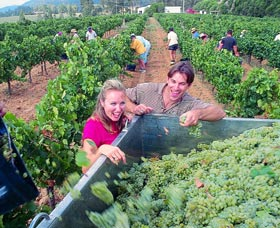 Wine Grape Harvesting